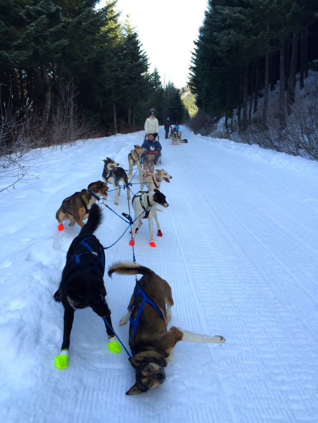 Dog Sledding!  © 2015 Kate Vista